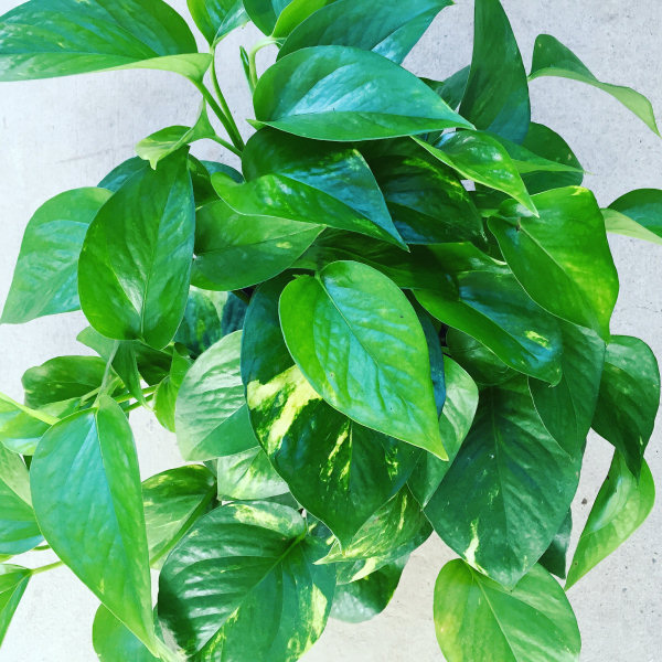 Low Light Houseplants Good Earth Garden Center And